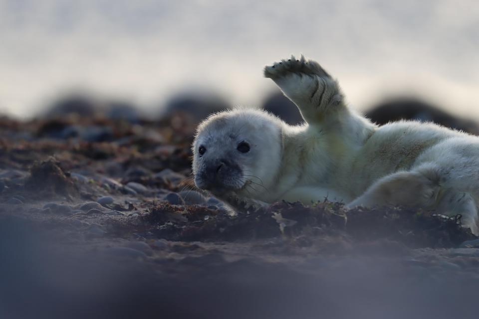 Grey seal pup at South Walney nature reserve, Cumbria (Emily Baxter/PA)