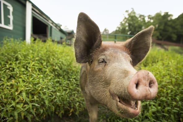 Could this pig have a future as pork scratchings?