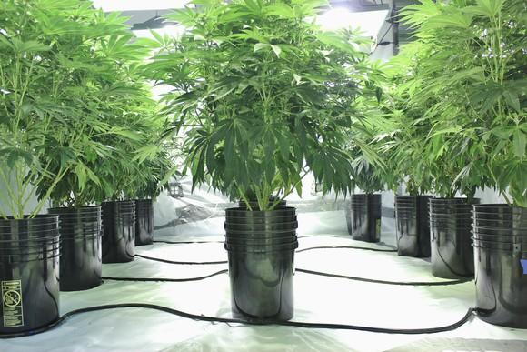 An indoor hydroponic cannabis grow facility.