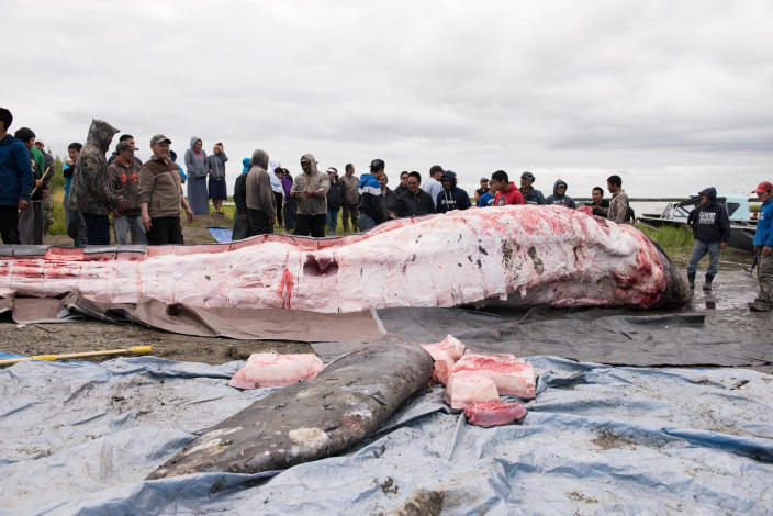 In this July 29, 2017 photo provided by KYUK-TV, a gray whale that was killed in the Kuskokwim River is butchered and the meat and blubber distributed. Indigenous hunters in Alaska initially believed they were legally hunting a beluga whale when they unlawfully killed a protected gray whale with harpoons and guns after the massive animal strayed into a river last year, according to a federal investigative report. The report, released to The Associated Press through a public records, says that after the shooting began, the hunters then believed the whale to be a bowhead and that the harvest would be theirs as the first to shoot or harpoon it. The National Oceanic and Atmospheric Administration decided not to prosecute the hunters. Instead it sent letters advising leaders in three villages about the limits to subsistence whaling. (Katie Basile/KYUK-TV via AP)