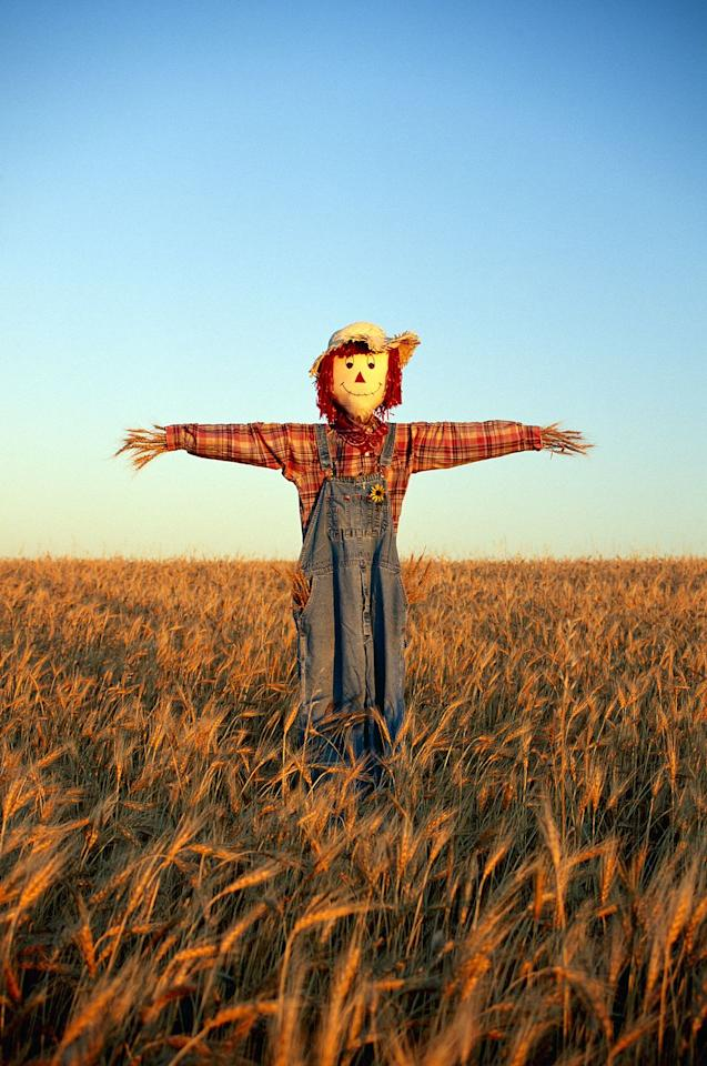 <p><strong><em>Which of the following is NOT a term for a scarecrow?  Hodmedod, Murmet, Doodle sack, Hay-man, Gallybagger, Tattie Bogal, Mommet, Mawkin, Bwbach<strong>.</strong></em></strong></p><p><strong><strong>Answer:</strong> </strong>Doodle<strong> </strong>Sack. Which is an English word for a bagpipe.  Either way you look at it, while the Scarecrow may not have had a heart, he does go by a lot of names!<strong><br></strong></p>