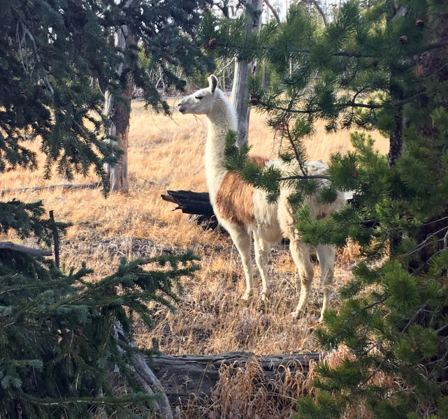 This Sunday, Oct. 28, 2018 photo shows Ike, a pack llama that escaped from a guided hike in Yellowstone National Park in August, seen southwest of Yellowstone Lake. He was captured Sunday by Susi Huelsmeyer-Sinay with Yellowstone Llamas in Bozeman, Mont. She said she feared the llama would not survive the winter in the park. (Susi Huelsmeyer-Sinay via AP)