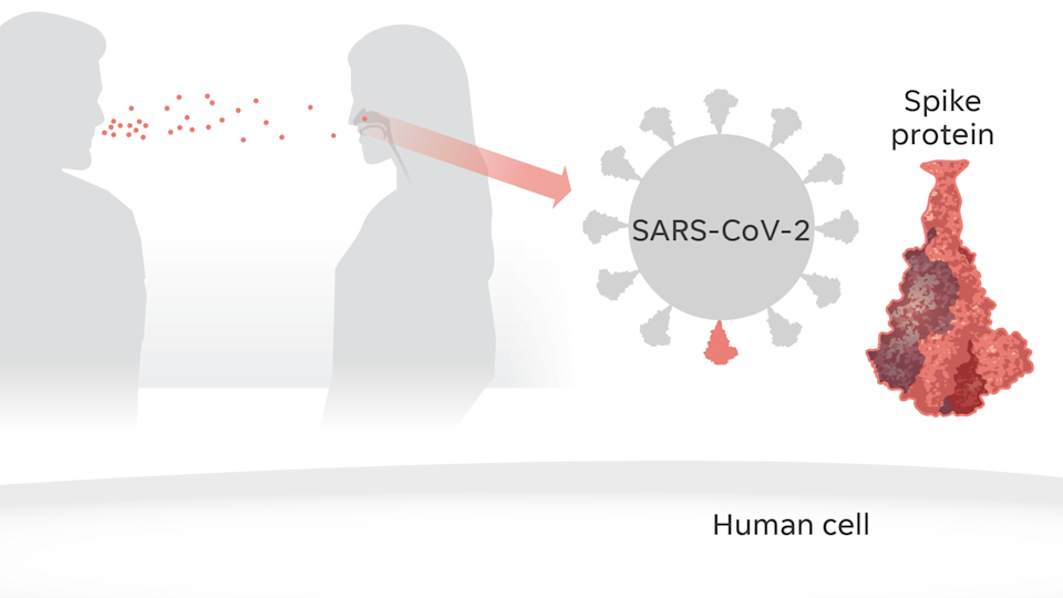"Scientists would learn that people are infected by SARS-CoV-2 through airborne droplets from a person carrying the virus. On the surface of the virus, spike proteins give it a ""corona"" or crown shape – a coronavirus."
