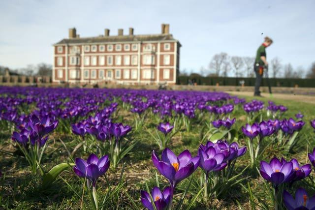 Crocuses in the gardens of the National Trust's Ham House in London, where milder temperatures have coaxed 120,000 Ruby Giant crocuses into bloom
