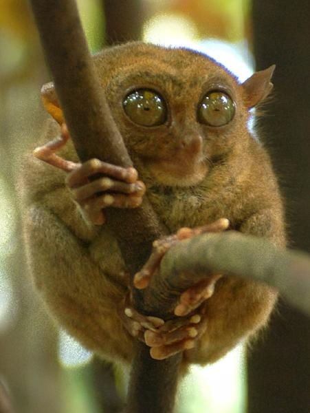 The tarsier is the world's smallest primate and are a protected species in the Philippines (AFP Photo/Joel Nito)