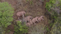 In this aerial photo taken June 7, 2021 and released by the Yunnan Forest Fire Brigade, a migrating herd of elephants rests near the Xinyang Township in the Jinning District of Kunming city of southwestern China's Yunnan Province. Already famous at home, China's wandering elephants are now becoming international stars. Major global media, including satellite news stations, news papers and wire services are chronicling the herd's more-than year-long, 500 kilometer (300 mile) trek from their home in a wildlife reserve in mountainous southwest Yunnan province to the outskirts of the provincial capital of Kunming. (Yunnan Forest Fire Brigade via AP)
