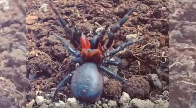 The mutant spider's unique colouring is beautiful and frightening. Source: YouTube/Mark Wong