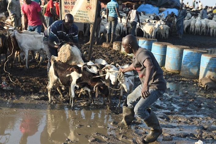 Nigerian ram sellers have complained of low patronage, a factor attributed to the economy downturn (AFP Photo/Pius Utomi Ekpei)