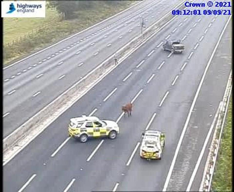 A cow blocked part of the M25 during rush hour today (Highways England)