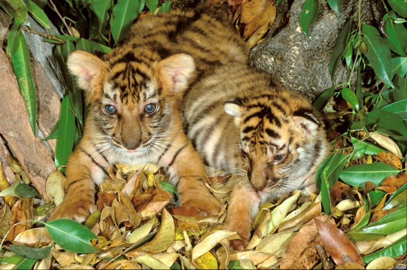 Panthera tigris tigris, Indian tiger.  Six week old cubs. Endangered species. Dist. Asia, but extinct in much of its range.