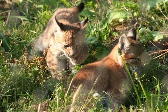 Rare Lynx kittens make playful debut at Whipsnade Zoo
