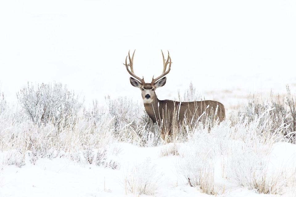 <p>It doesn't get more majestic than this mule deer grazing in a snowy field in Utah.</p>
