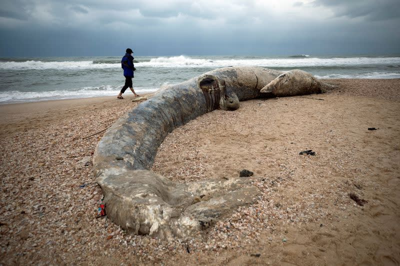 A man walks near the body of a dead whale after it washed ashore from the Mediterranean near Nitzanim, Israel