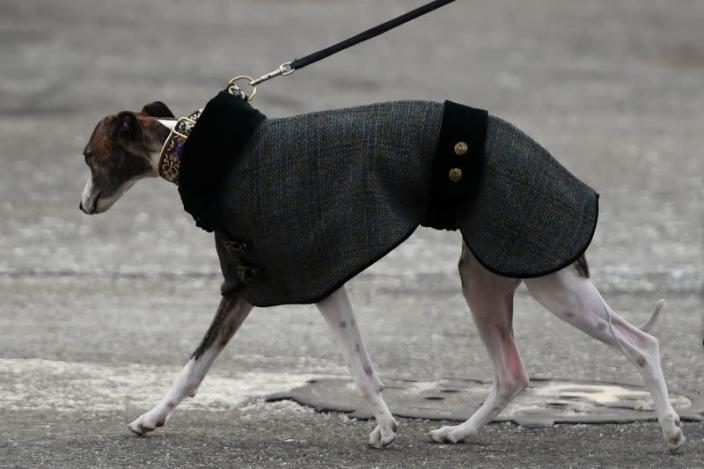 A dog in an outfit walks outside Pier 94 during the Westminster Kennel Club Dog Show in New York