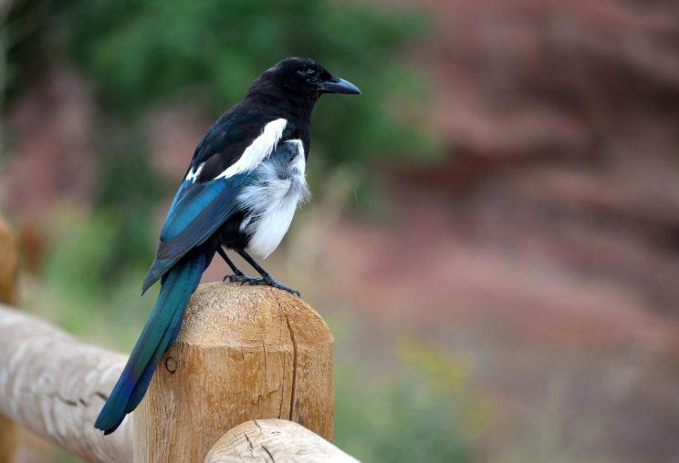 Fewer Brits salute magpies – most many believe breaking a mirror is bad luck