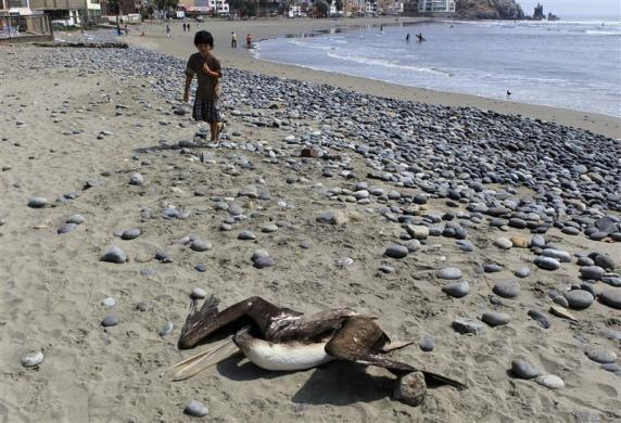 A child looks on as a dead pelican lies on Cerro Azul beach in Canete, Lima, May 6, 2012.