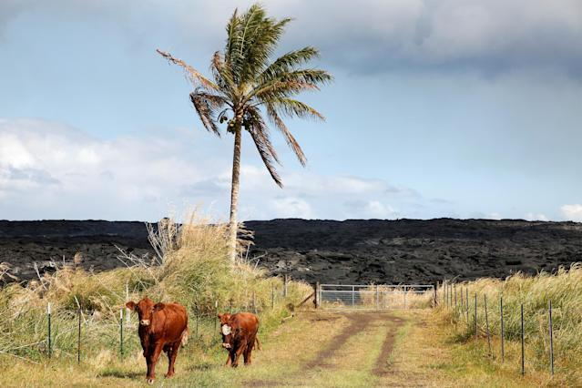 <p>Cows stand in a road in an evacuated community on the outskirts of Pahoa during ongoing eruptions of the Kilauea Volcano in Hawaii, June 6, 2018. (Photo: Terray Sylvester/Reuters) </p>