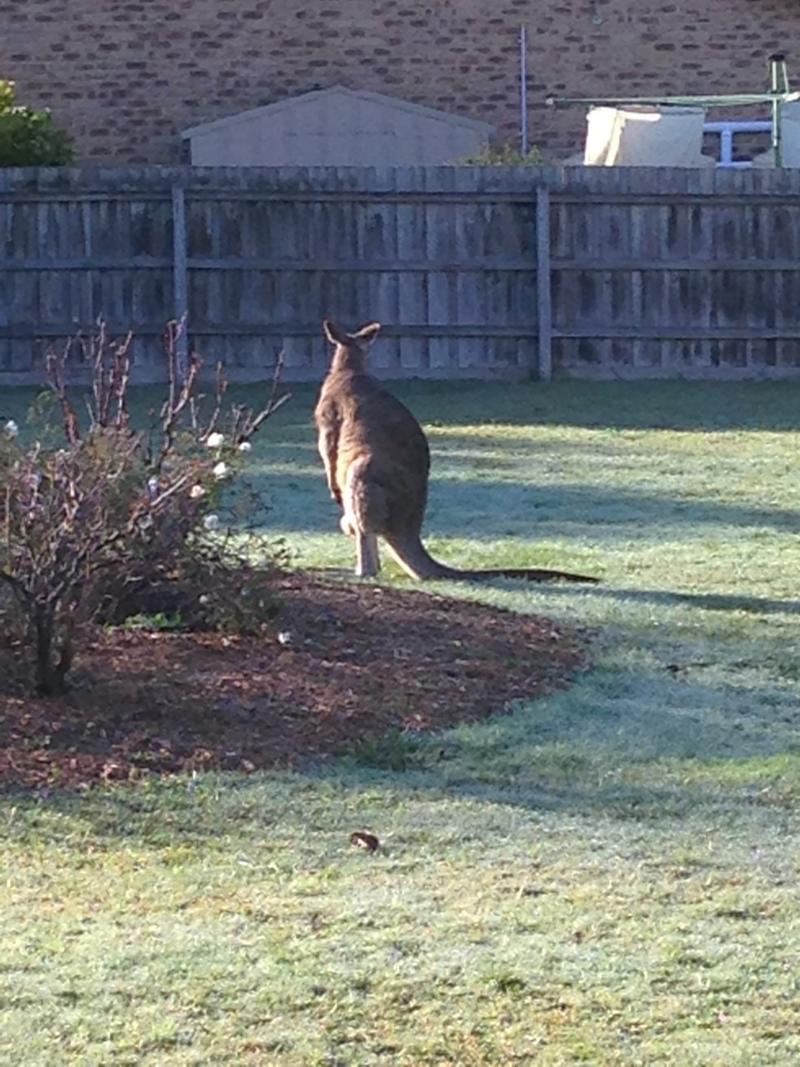 A new housing development means kangaroos living in Lilydale will need to be culled or relocated. Source: Supplied