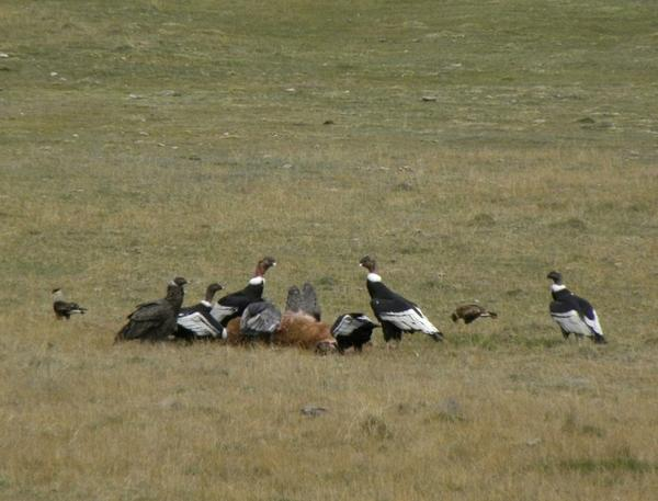 Large condors and smaller southern caracaras surround a guanaco killed by an adult female puma.