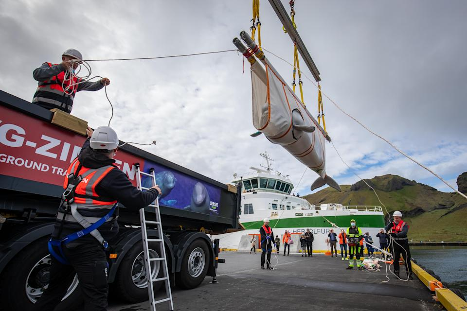 The whales were transferred in specially designed slings with custom foam matting for cushioning during transportation using a truck and the harbour's tugboat. (PA)
