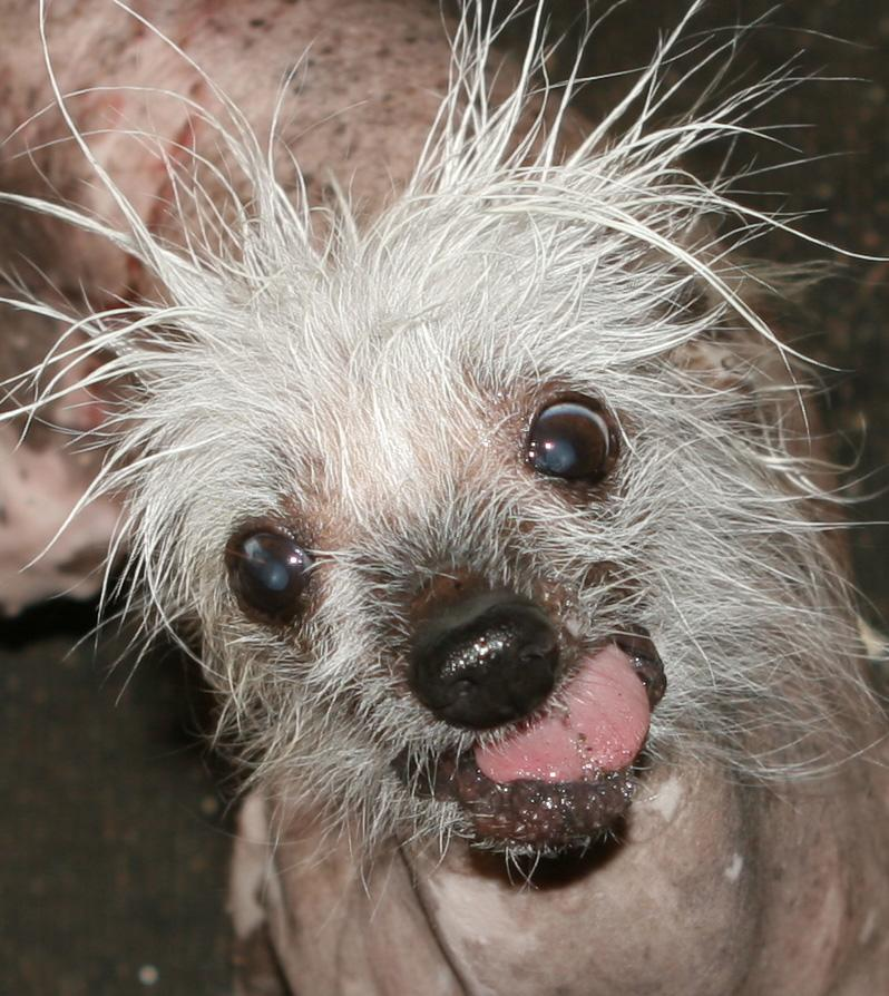 Meet Rascal, a contestant in the World's Ugliest Dog Contest. The contest, currently in its 25th year, is on at the Sonoma-Marin Fair in Petaluma, California, on Friday, June 21. The winner will be given $1,500. Eight-year-old Chinese Crested pooch named Mugly won the crown in 2012. Photo courtesy of the World's Ugliest Dog ® Contest, June 21, Sonoma-Marin Fair, Petaluma, California.