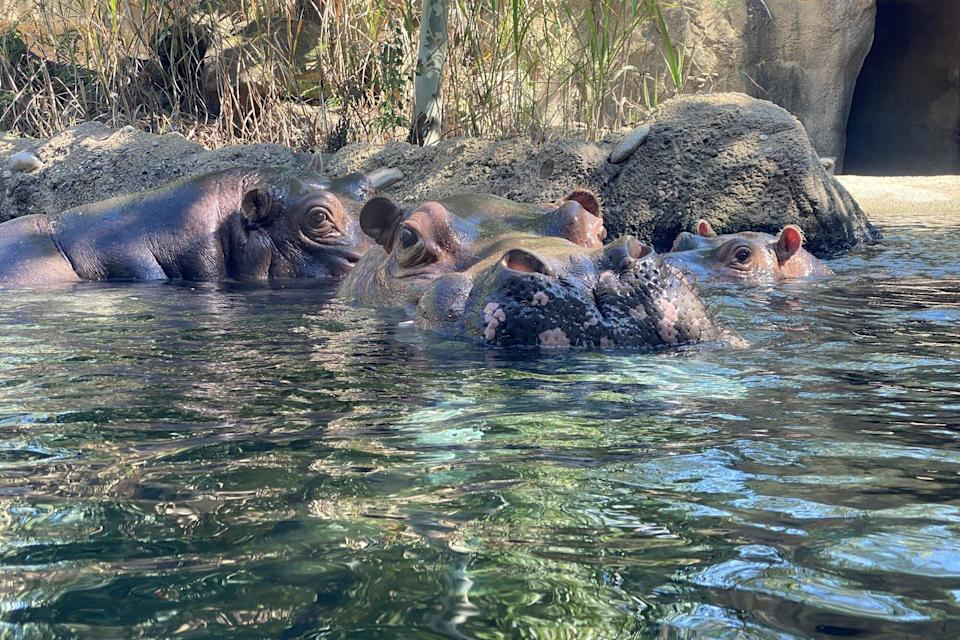 Fiona the Hippo Meets new Male Hippo Tucker After the Death of Her Dad