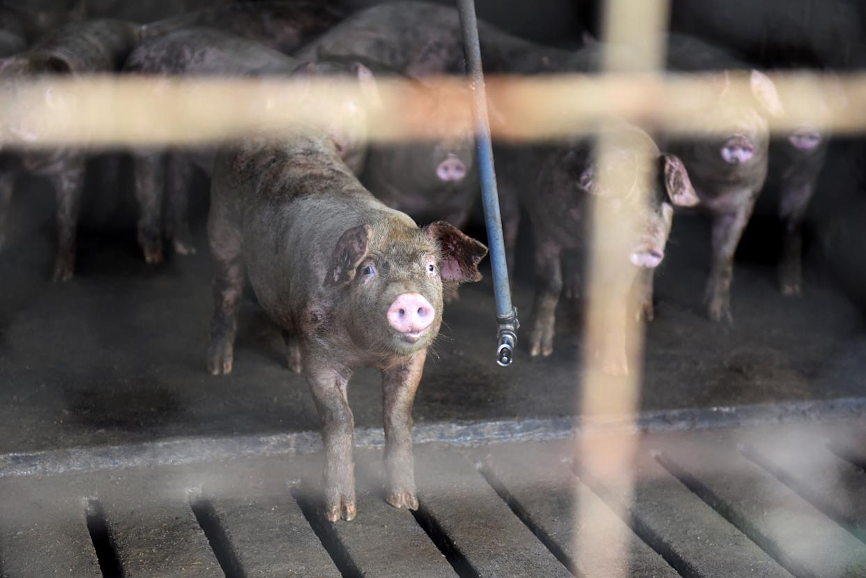 Pigs stand over the slatted floor of a barn in Ayden, North Carolina, on Sept. 12. (Photo: Bloomberg via Getty Images)