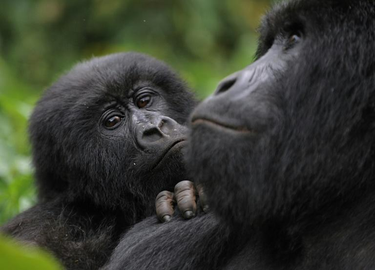 Attenborough retraces an iconic film he made in the 1970s showing a fast-dwindling band of mountain gorillas on the border between Rwanda and the present-day Democratic Republic of Congo.