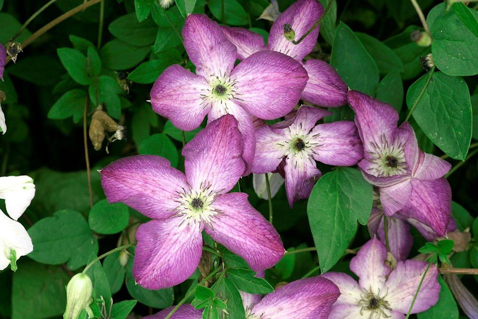 "<p>True to its name, this hardy, easy-to-grow flowering vine produces profuse blooms in shades of deep violet with emerald green leaves. Train clematis ""etoile violette"" to climb a trellis, wall, fence, or arbor and consider mixing with other climbers, such as climbing roses.</p><p><strong>When it blooms: </strong>Mid to late summer</p><p><strong>Where to plant:</strong> Full to partial sun</p><p><strong>USDA Hardiness Zones: </strong>4-11</p>"