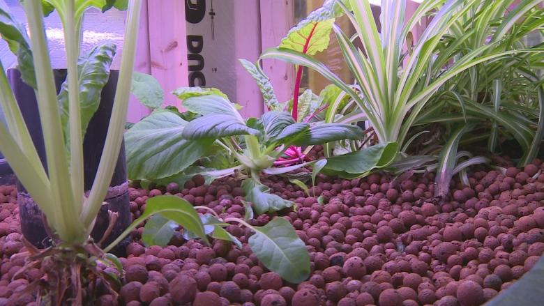 Summerside Makerspace growing greens with aquaponics