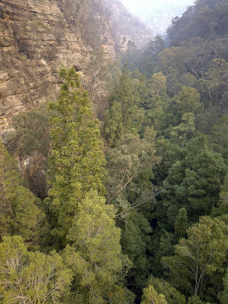 """""""Wollemi National Park is the only place in the world where these trees are found in the wild,"""" Environment Minister Matt Kean said. (Photo: New South Wales Government)"""