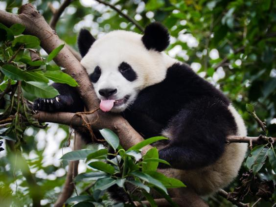 Sichuan is home to the giant panda (Getty Images)