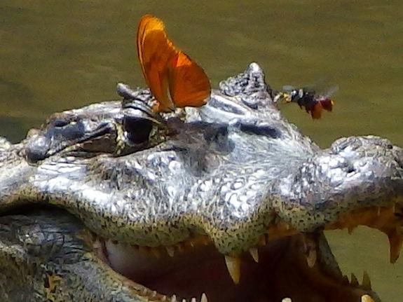 Butterflies Caught Lapping Up Crocodile Tears