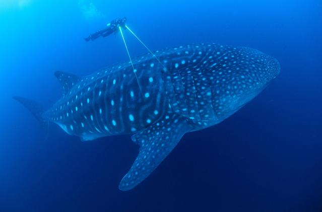 A scientist uses lasers to measure a whale shark, the largest fish in the ocean. In the Galapagos Islands, scientist Jonathan Green is trying to unravel the mystery of why large pregnant females arrive there every year. Protecting their migration routes is key to the species's survival. (Photo: Jonathan Green/BBC)