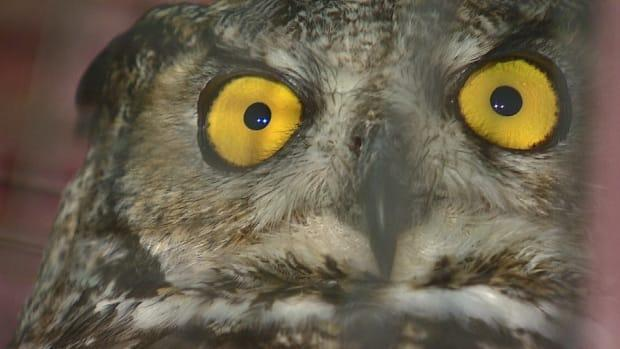 Attacks involving great horned owls, like the one seen here, are uncommon.  (Mike Symington/CBC - image credit)