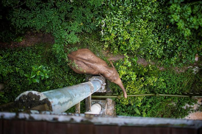 A wild female elephant grazes under a footbridge at the Wild Elephant Valley in Xishuangbanna Dai Autonomous Prefecture, Yunnan Province, China, on July 6, 2021. (Aly Song / Reuters file)