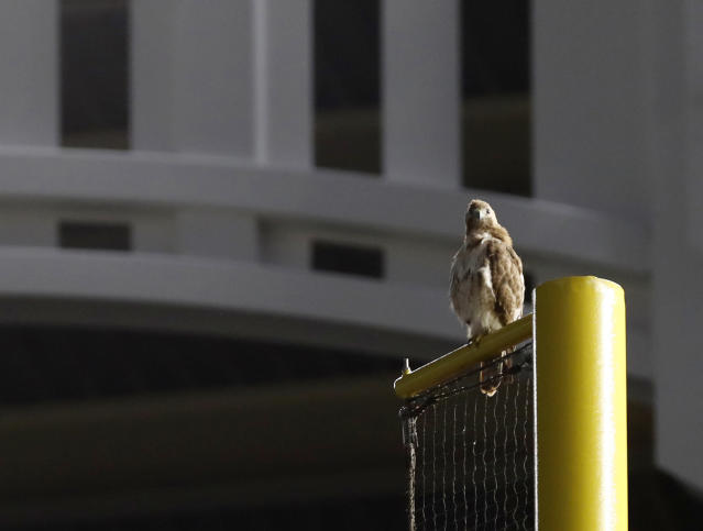 A red-tailed Hawk sits atop the right field foul pole at Yankee Stadium during a baseball game between the New York Yankees and the Toronto Blue Jays, Tuesday, June 25, 2019, in New York. The red-tailed hawk has become a sensation in the Bronx, showing up in the last week or so and picking out perches all over the ballpark. (AP Photo/Kathy Willens)