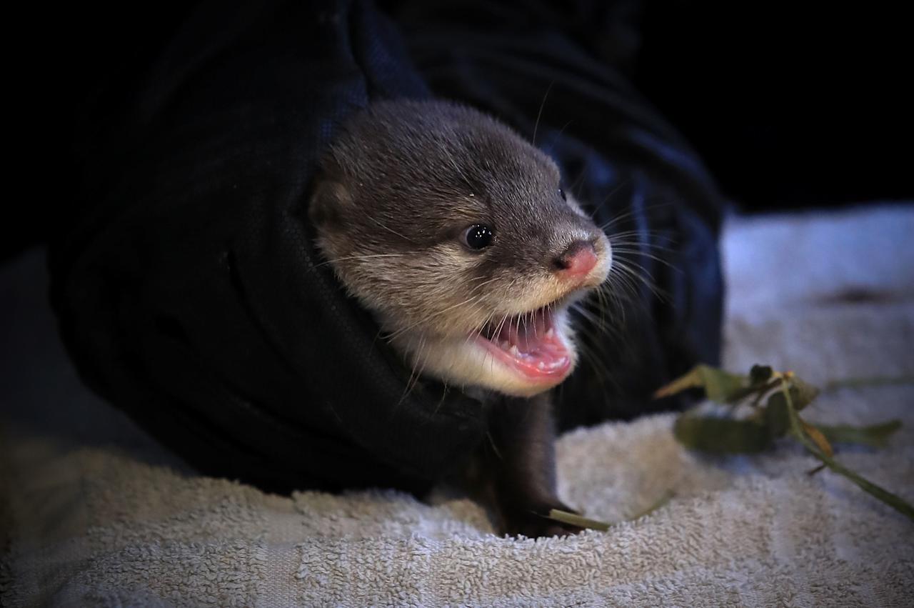 <p>Five baby otters have their first health check-up at Chester Zoo. (PA) </p>