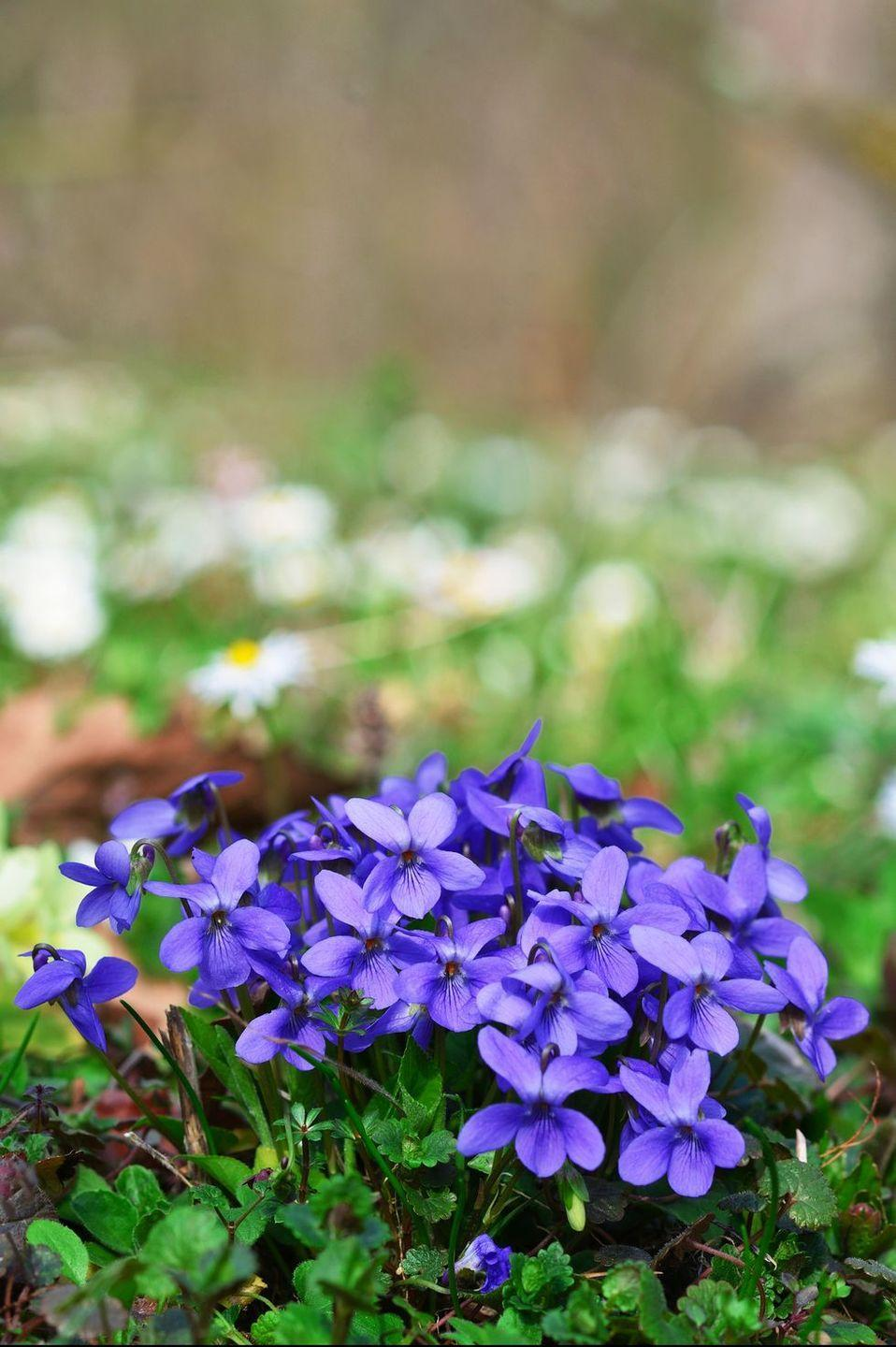 <p>Loyalty, devotion, faithfulness. What's not to love about the lovely little violet? Those are sentiments just about everyone can appreciate. </p>