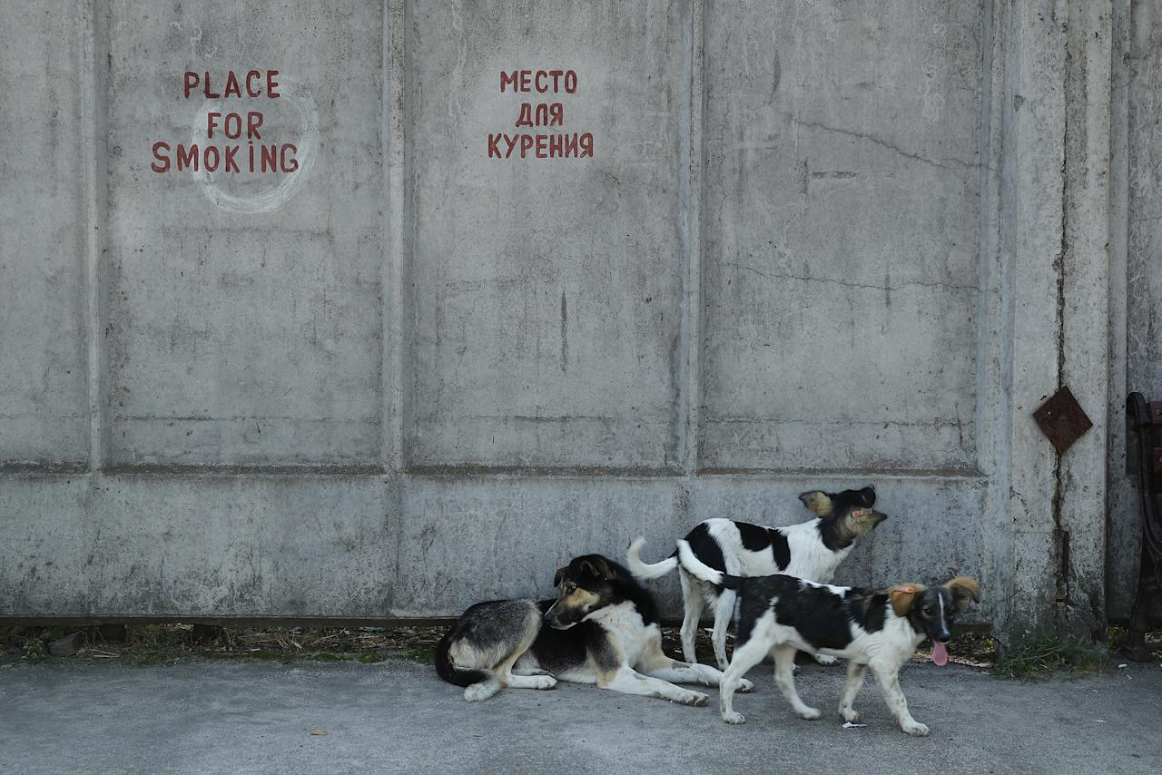 <p>Tagged stray dogs lounge outside a cafeteria at the Chernobyl nuclear power plant on Aug. 19, 2017, near Chernobyl, Ukraine. (Photo: Sean Gallup/Getty Images) </p>