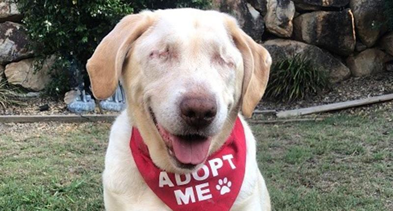Dumpling, a blind Labrador, is pictured.