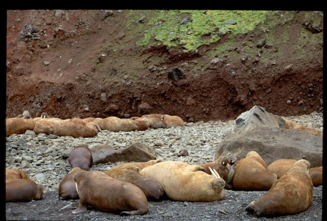 Pacific walruses on the shore of Arakamchechen Island in the Bering Sea.
