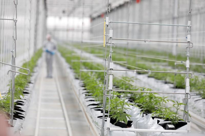 FILE PHOTO: Worker checks cannabis plants inside Tilray factory hothouse in Cantanhede