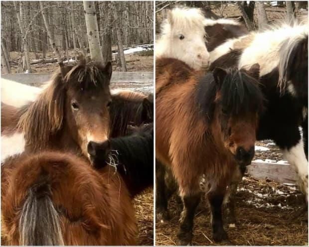 Bear Valley Rescue Society hasn't had this many horses, or ponies, surrendered in some time. (Submitted by: Bear Valley Rescue Society - image credit)