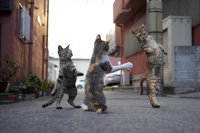 <p><span>The cats, all photographed on the streets of Japan, would put the likes of Bruce Lee and Jackie Chan to shame. </span>(Photo: Hisakata Hiroyuki/Caters News) </p>