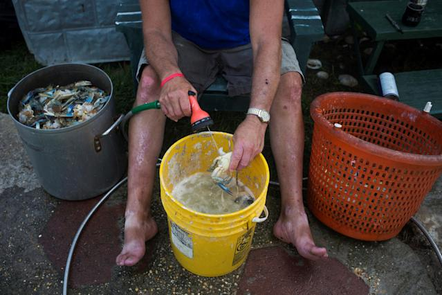 <p>Local resident Jim Tyler cleans out the organs of a blue crab in preparation for picking its meat, at his residence on Tangier Island, Virginia, Aug. 2, 2017. (Photo: Adrees Latif/Reuters) </p>