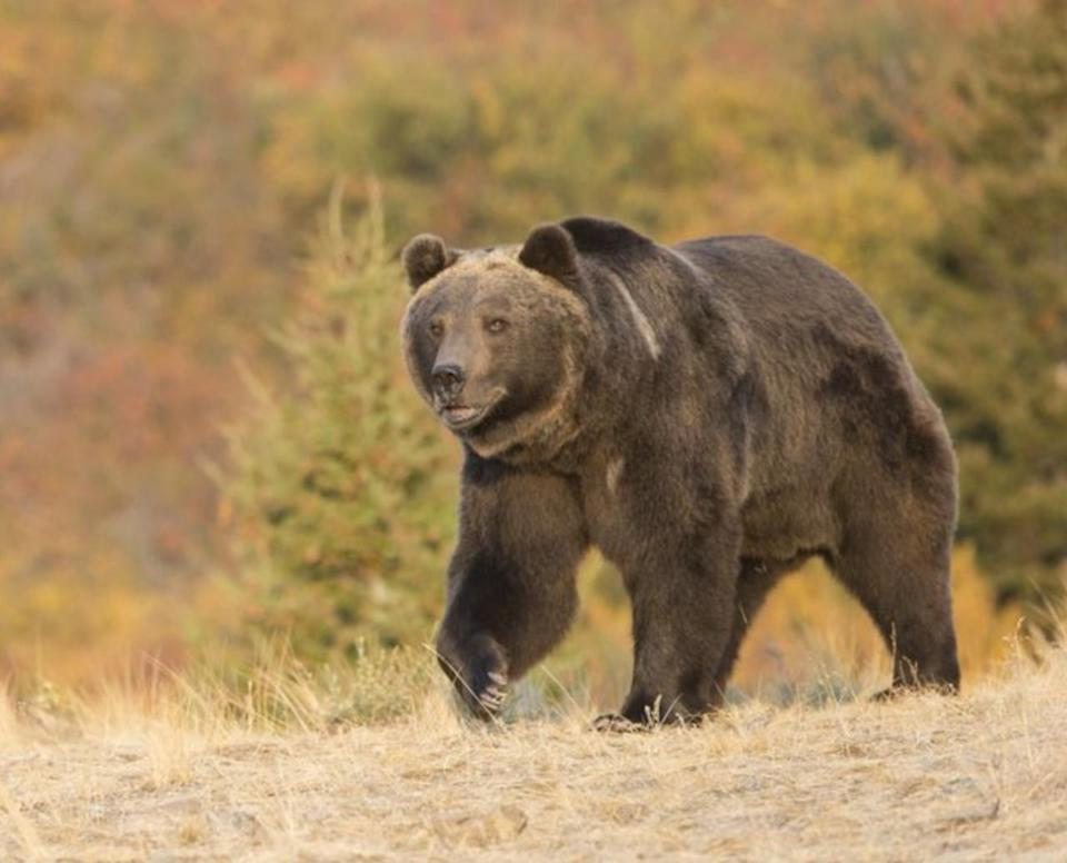 California woman dragged from tent and killed by bear