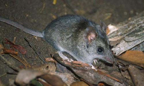 Fears for wildlife recovery after bushfires as coronavirus crisis stymies scientists' fieldwork