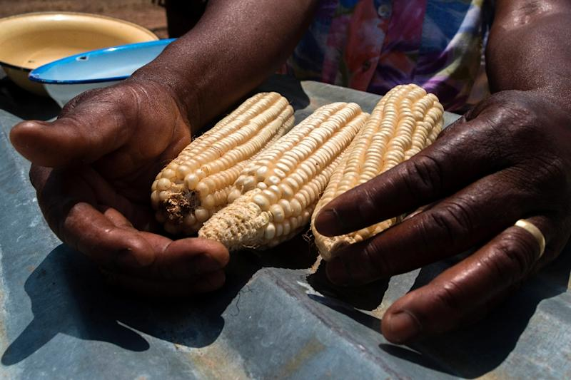 Essential for food security in large parts of Africa, maize is particularly vulnerable to the fall armyworm larvae, which burrow into the cobs (AFP Photo/Jekesai NJIKIZANA)