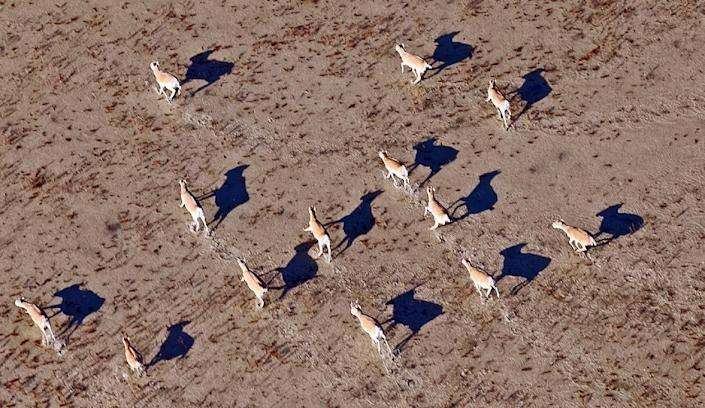 """Over 120,000 rare saiga antelopes -- more than a third of the total global population -- have been wiped out in a devastating blow that the United Nations Environment Programme has called """"catastrophic"""" (AFP Photo/Anatoly Ustinenko)"""